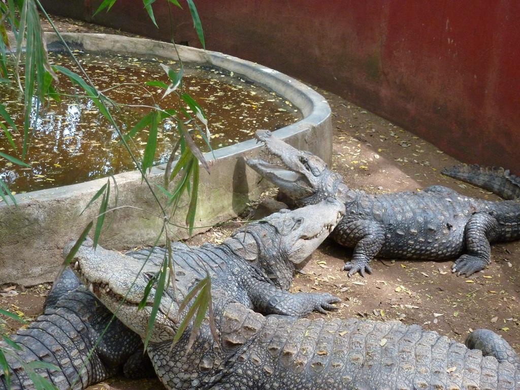 How Do Crocodiles Have Sex 22